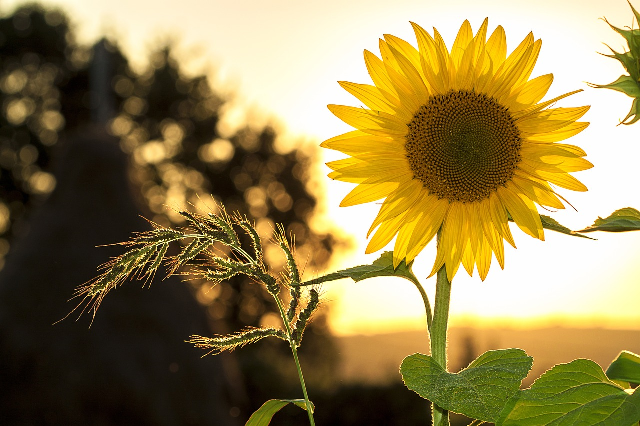 sunflower-1127174_1280